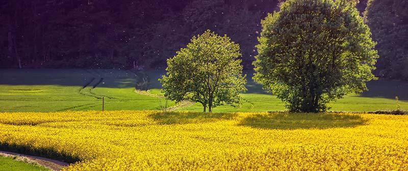 Photographie d'un champ de colza, utilisé pour fabriquer la meilleure huile végétale pour la santé