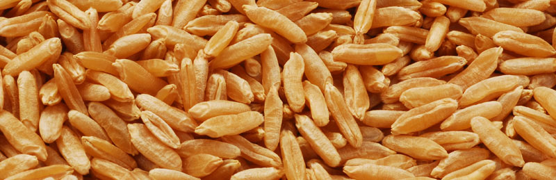 Grains de Kamut