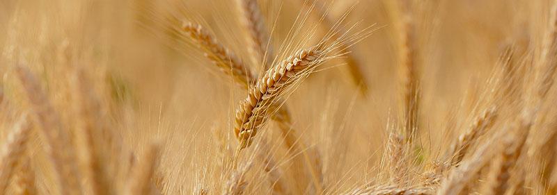 Le blé dur et le blé tendre apparteinnent aux céréales qui contiennent du gluten.